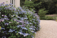 Hydrangea Bluebird