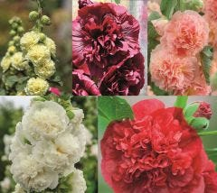 Double Hollyhocks Collection