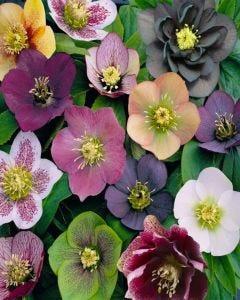 Hellebore Orientalis Mix 3 x 9cm pots