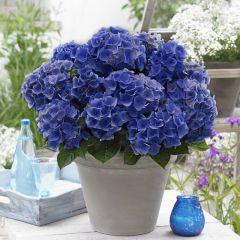 Hydrangea Blue Boogie Woogie