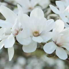 Magnolia loebneri 'Merril'