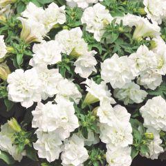 6 Surfinia Double White