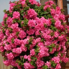 6 Surfinia Double Pink