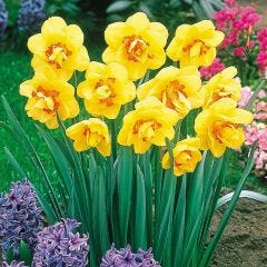 15 Daffodil Tahiti