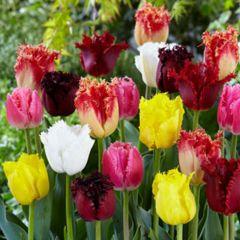 Fringed Tulips Mixed 11/12cm