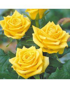 Rose Sunblest