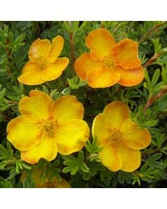 Potentilla Sunset