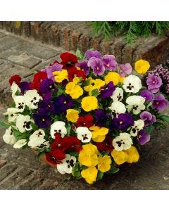 Winter/Spring Pansies Mixed