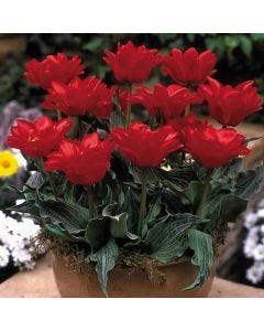 Double Red Riding Hood Tulips