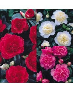 3 Camellia Collection