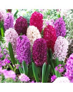 Hyacinth Passion Mixed