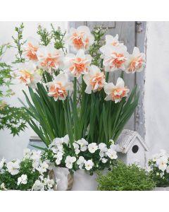 15 Daffodil Delnashaugh
