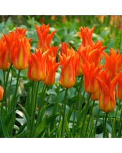 10 Tulip Flutes on Fire