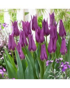 10 Tulip Purple Dream