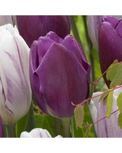10 Tulip Purple Flag
