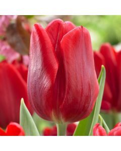 10 Tulip Red Flag