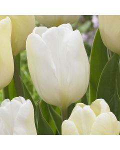 10 Tulip White Flag
