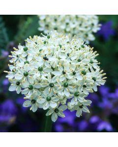 15 Allium multibulbosum Nigrum