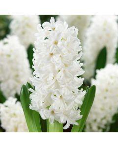5 Hyacinth Aiolos
