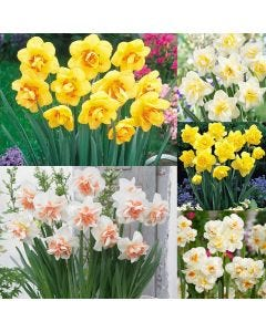 75 Double Daffodil Collection