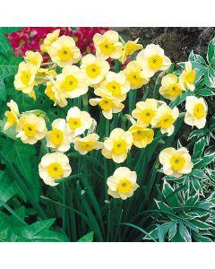 20 Narcissi Sundisc