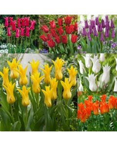 60 Bargain Lily Tulip Collection