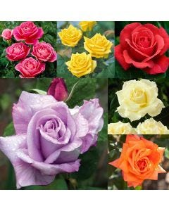 6 HT Rose Collection