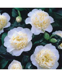 Camellia Brushfield's Yellow
