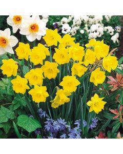 Daffodil Obvallaris