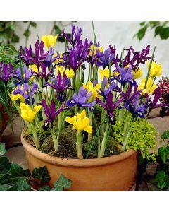 Dwarf Iris Mixed