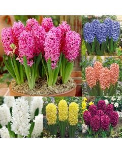 30 Hyacinth Collection