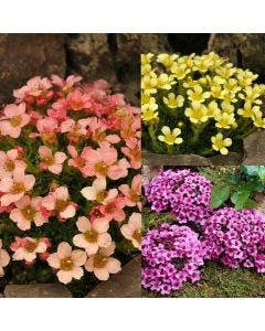 9 Saxifraga Collection