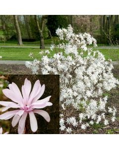 4 Dwarf Magnolia Collection