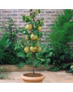 Dwarf Pear Lilliput