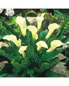Zantedeschia Albomaculata (Calla Lily)