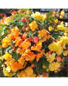 Begonia Apricot Shades Enhanced