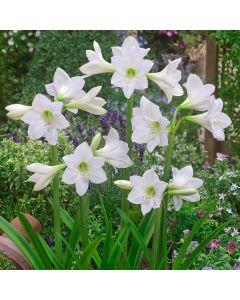 Amaryllis Sonatini White Rascal