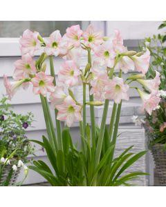 Amaryllis Sonatini Pink Rascal