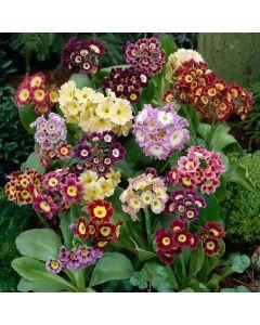 Primula Auricula Mixed