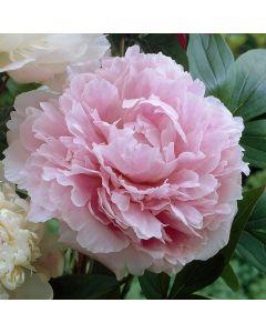 Peony Sarah Bernhardt
