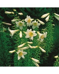 Lily Regale (Regal Lily)
