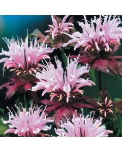 3 Monarda Beauty of Cobham