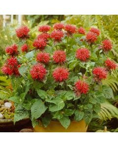 3 Monarda Cambridge Scarlet