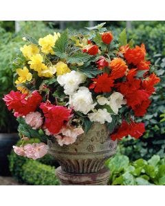 43 Complete Begonia Collection