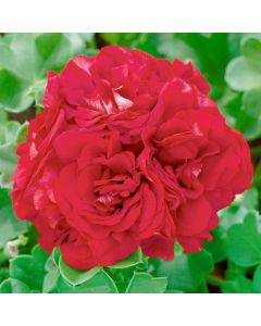 6 Geranium Double Red