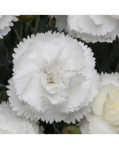 Dianthus Haytor White
