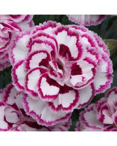 Dianthus Gran's Favourite