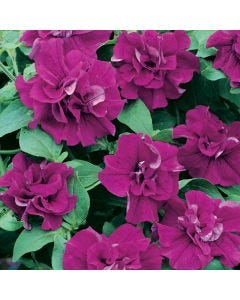 6 Surfinia Double Purple