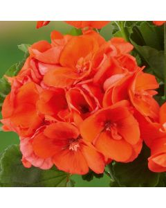 6 Geranium Grandeur Orange