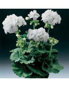 6 Geranium Grandeur White